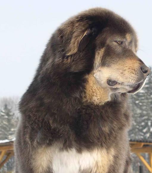 """藏獒属于犬科动物,国家二类保护动物,国宝级大型猛犬,世界级珍稀犬种之一。它的历史悠久,原产于我国青藏高原,据记载距今已有1300万年历史,是世界公认的最古老、最稀有的犬种。古时有哮天犬之美誉,历史上有""""九犬成一獒""""的说法,藏獒被看作当地人民的护卫犬和保护神。在世界犬类漫长的血统融合进程中,藏獒起着非常巨大的作用,是许多世界大型犬种的祖先,也是世界上唯一不怕野兽的犬种,有""""一獒抵三狼""""的说法。 该犬体形巨大,匀称,外表威严。公犬的体形更大,母犬的体形稍小一些,"""