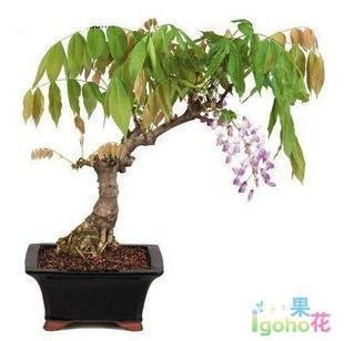 10年以上大紫藤盆景