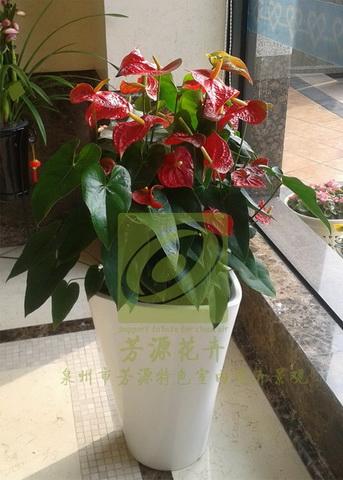 达利红掌 特色盆栽 泉州市芳源特色室内花卉景观 泉州花卉