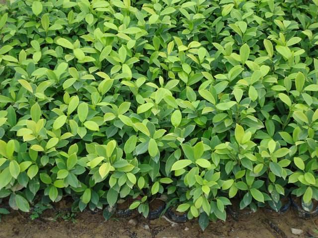黄金榕袋苗养殖方法图片