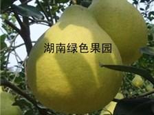 广东柚子苗价格