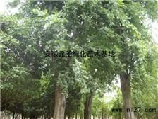 贵州朴树供应价格