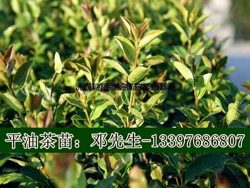 13397686807  福建嫁接油茶苗供应  -n127网 用油茶树作砧嫁接山茶花