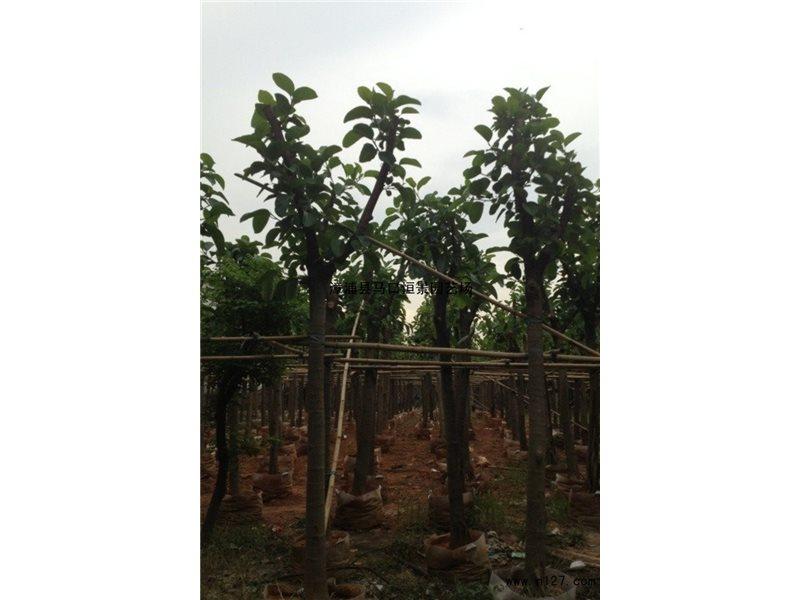 高山榕为阳性树种,四季常绿,树冠广阔,树姿丰满壮观,生性强健,耐