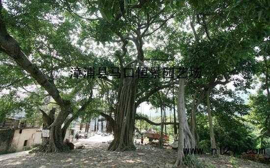 高山榕为阳性树种,四季常绿,树冠广阔,树姿丰满壮观,生性强健,耐干