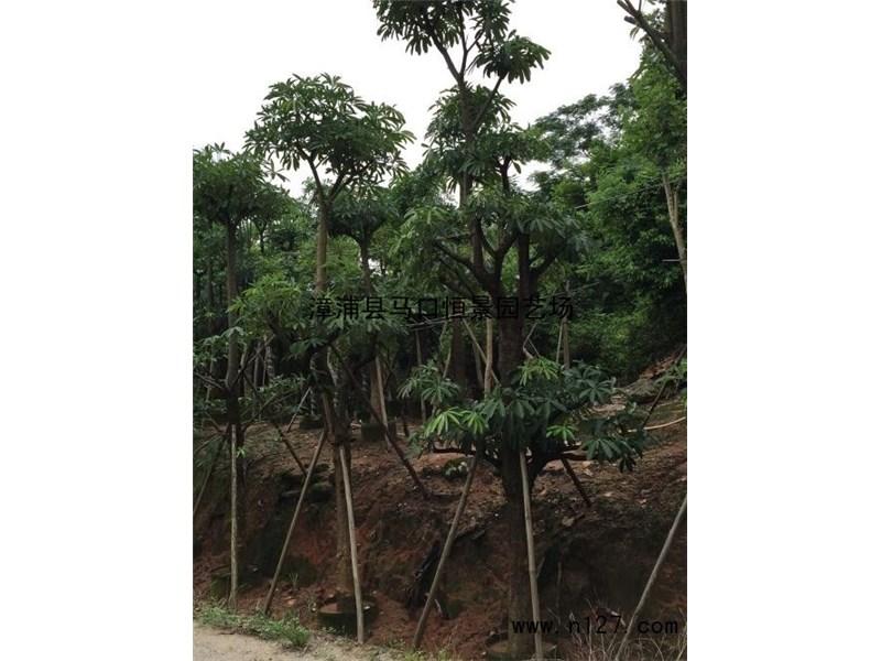 行道树,庭荫树,糖胶树树形美观,枝叶常绿,生长有层次如塔状,果实