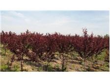西安红叶李树苗多少钱