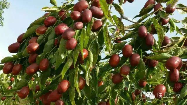 蚕果站从省果树所国家枣树种质资源圃