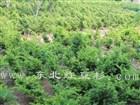 东北红豆杉保定培育基地苗木50
