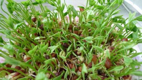 红芽菜苗菜