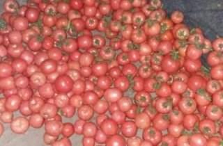 费县西红柿长势兴旺