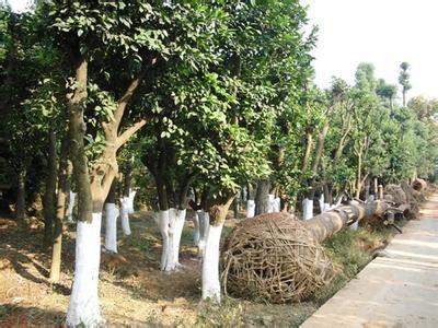 樟树种类排名