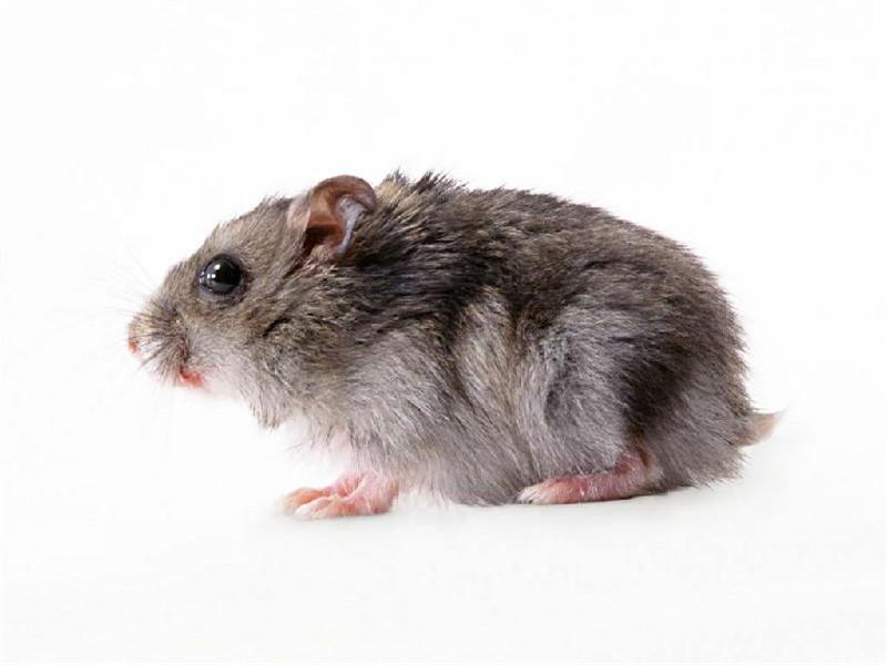 动物老鼠脚印简笔画
