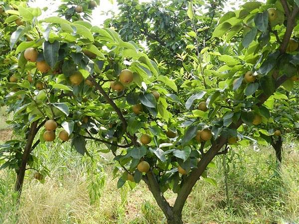 梨子树图片简笔画